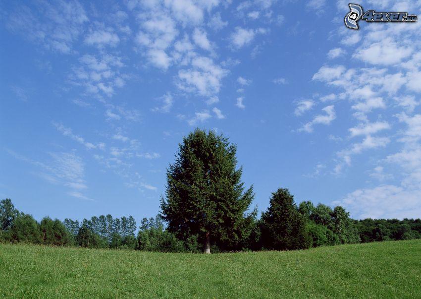 Fichte, Nadelbaum, Wiese, Himmel