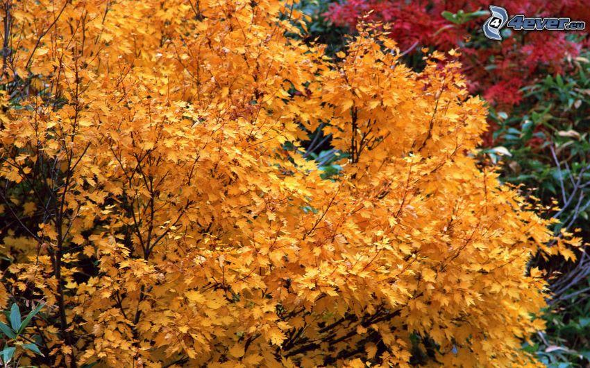 gelber Baum, herbstliche Blätter