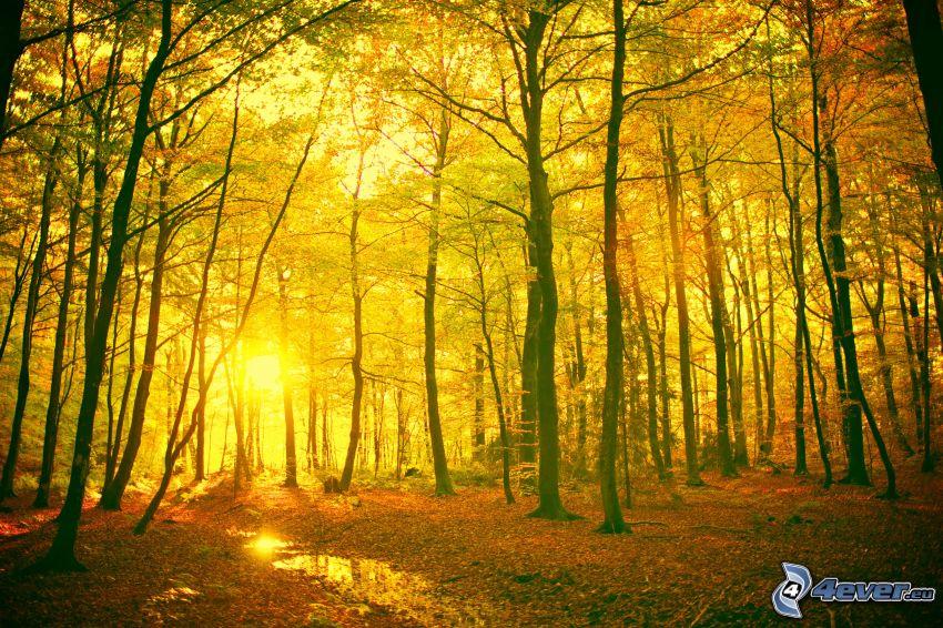 gelber herbstlicher Wald, Sonnenuntergang im Wald, Blätter