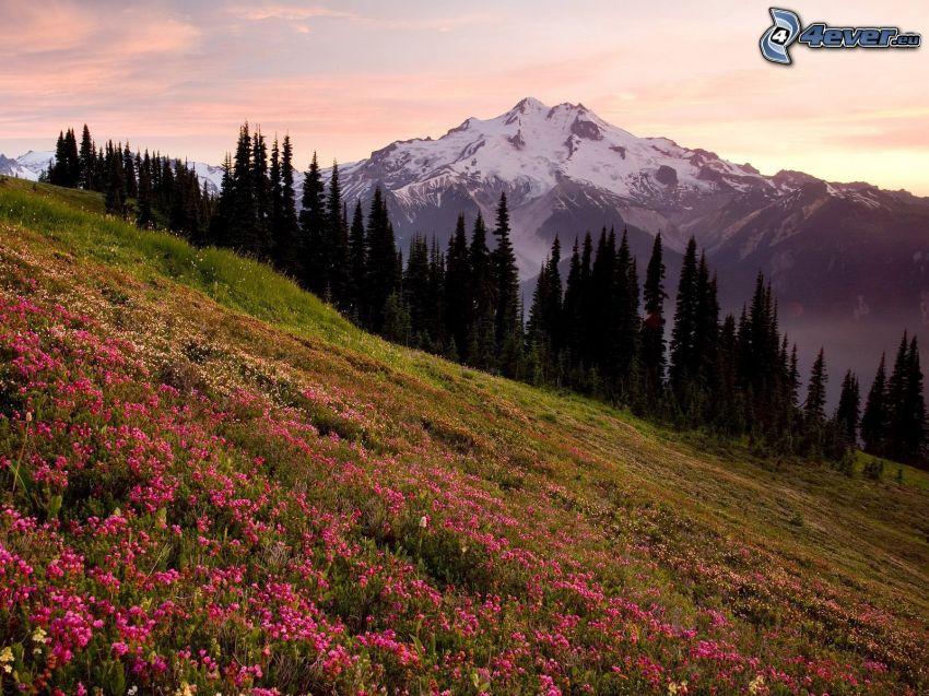 Glacier Peak, Wiese, Bäume