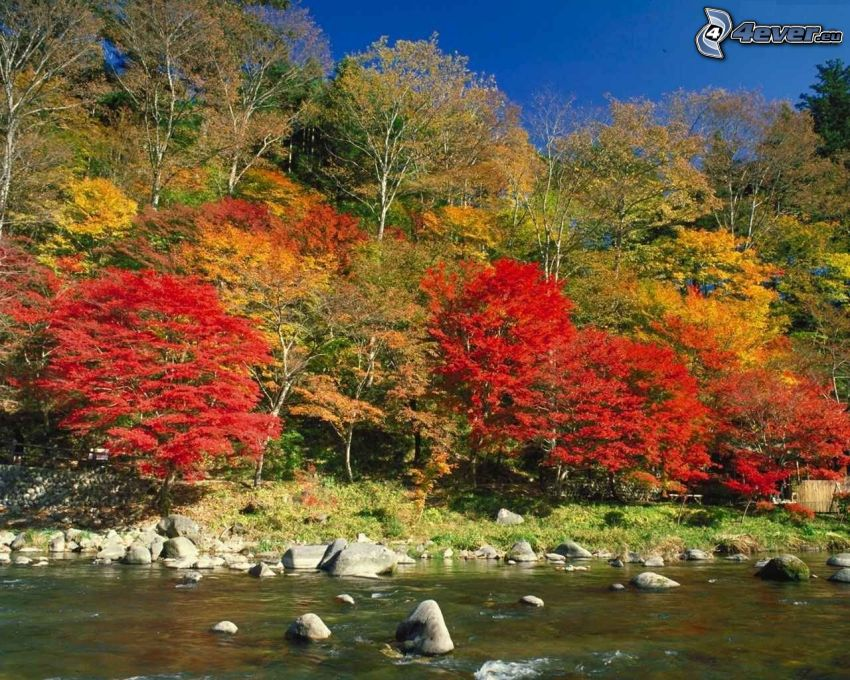 Herbstliche Bäume am Fluss, Steine, bunte Blätter