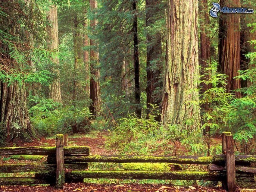 Riesenmammutbaum, alten Holzzaun, Moos, Wald, mächtige Bäume