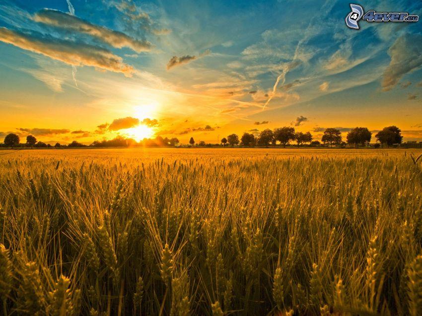 Sonnenuntergang hinter dem Feld, Wolken, kondensstreifen
