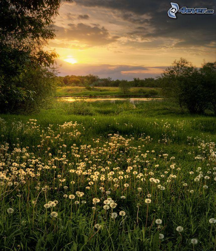 Sonnenuntergang hinter der Wiese, blühenden Löwenzahn, Gras, See