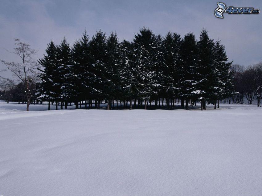 verschneite Bäume, Hain