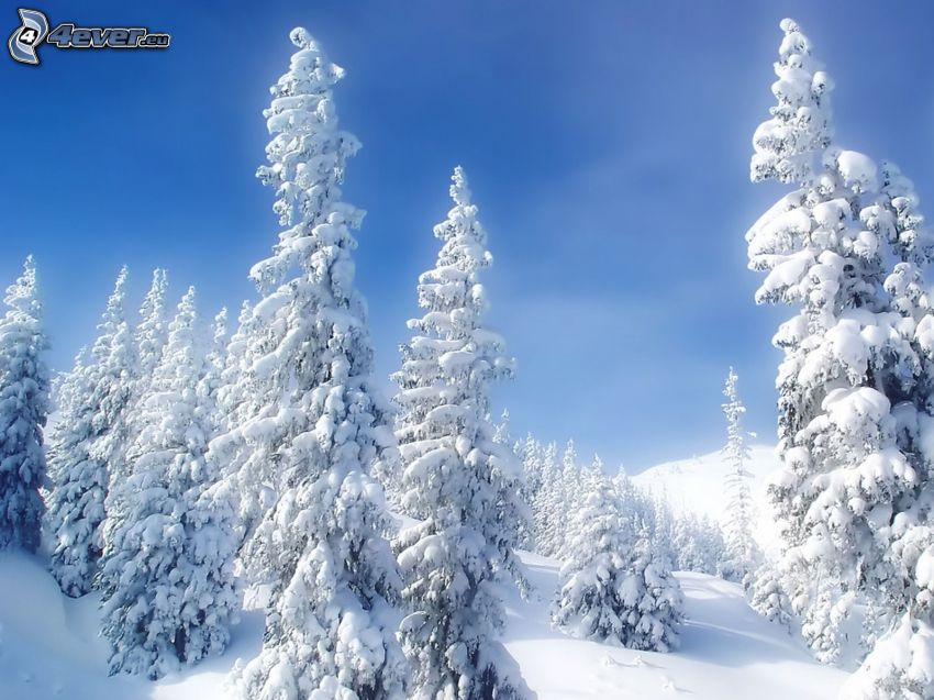 verschneite Bäume, Himmel
