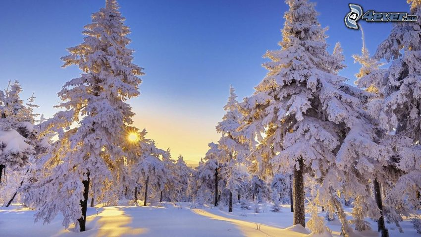 verschneite Bäume, Sonnenuntergang