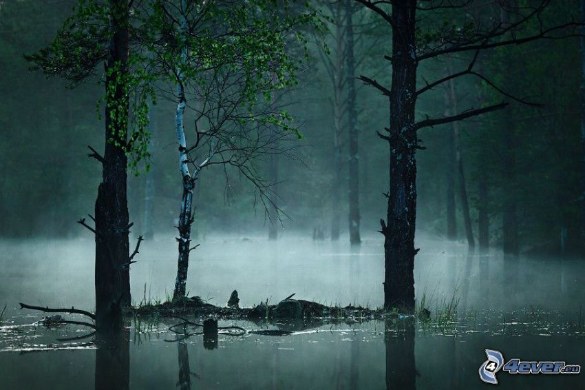 Wald, Sumpf, Boden Nebel, Birke