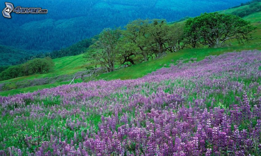 lila Blumen, Bäume, Hügel
