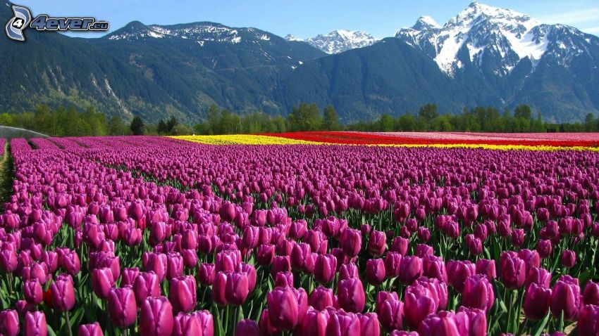 lila Tulpen, schneebedeckte Berge