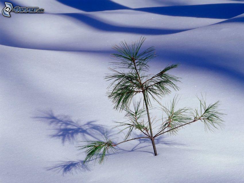 Nadelästchen, Schnee