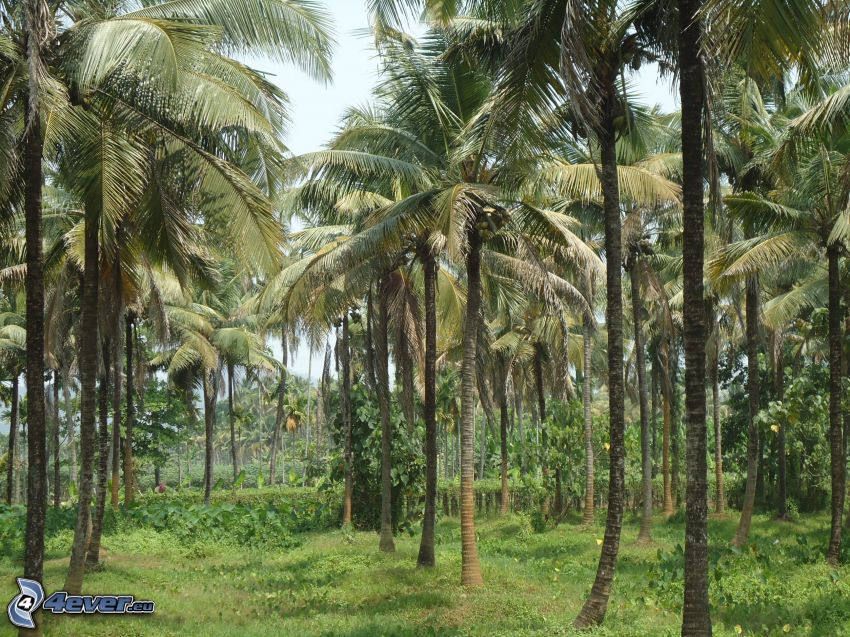 Palmen, Wald