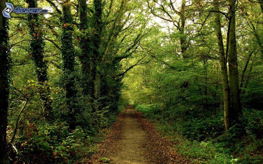 Pfad durch den Wald, Wald, Grün
