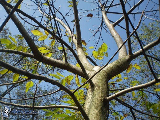 abgeblätterter Baum, Herbst, Blätter