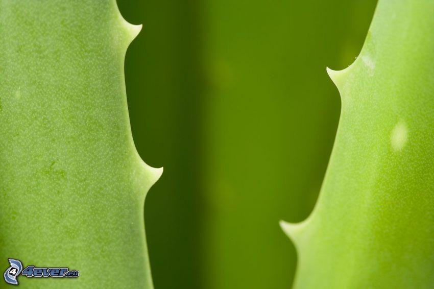 Aloe Vera, Blätter