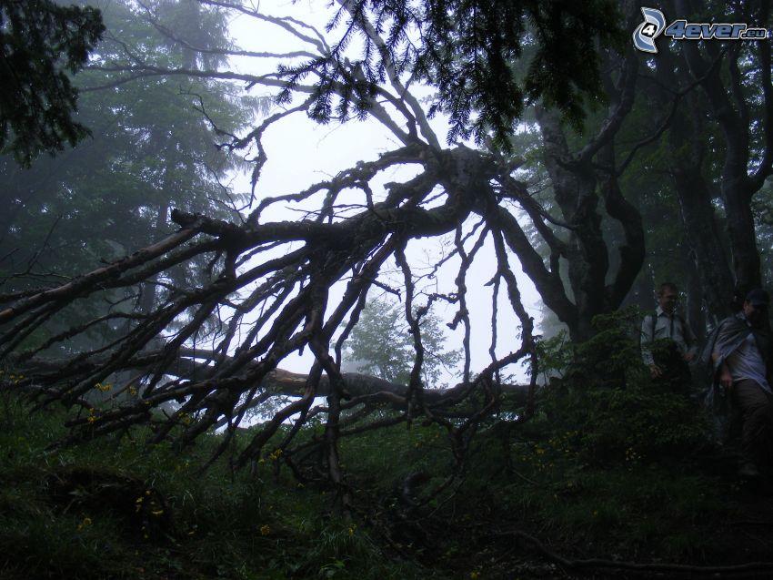 alter Baum, Dunkler Wald, Touristen