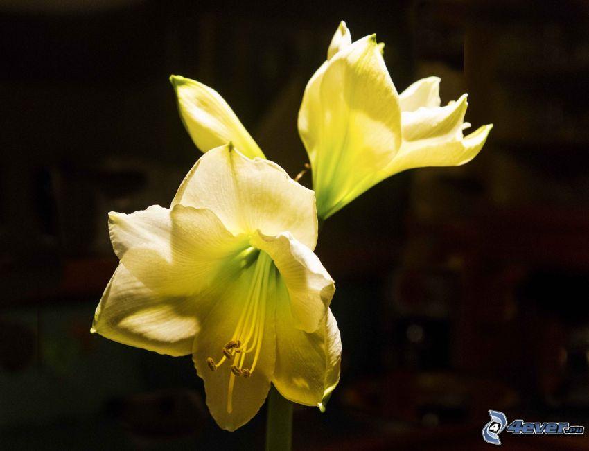 Amaryllis, gelbe Blumen