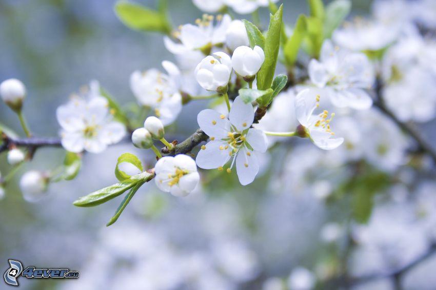 aufgeblühter Ast, weiße Blumen