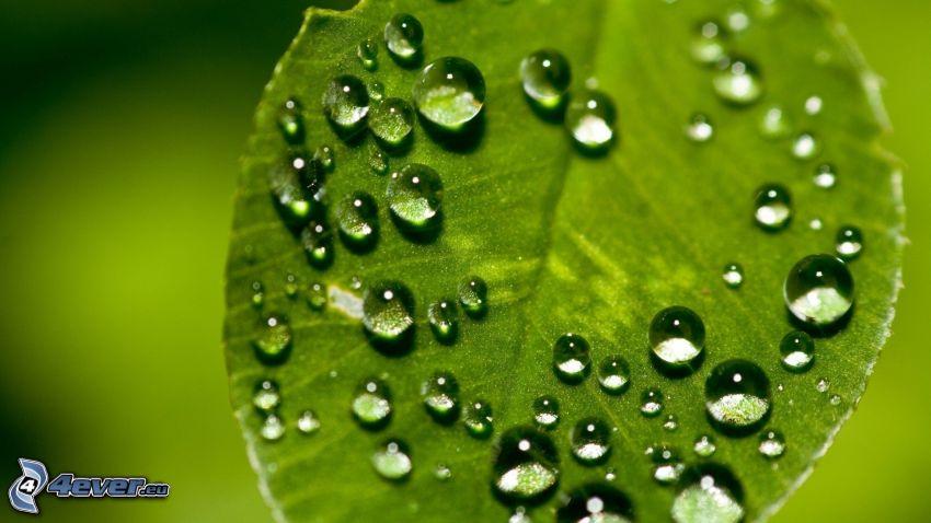 befeuchtetes Blatt, Wassertropfen