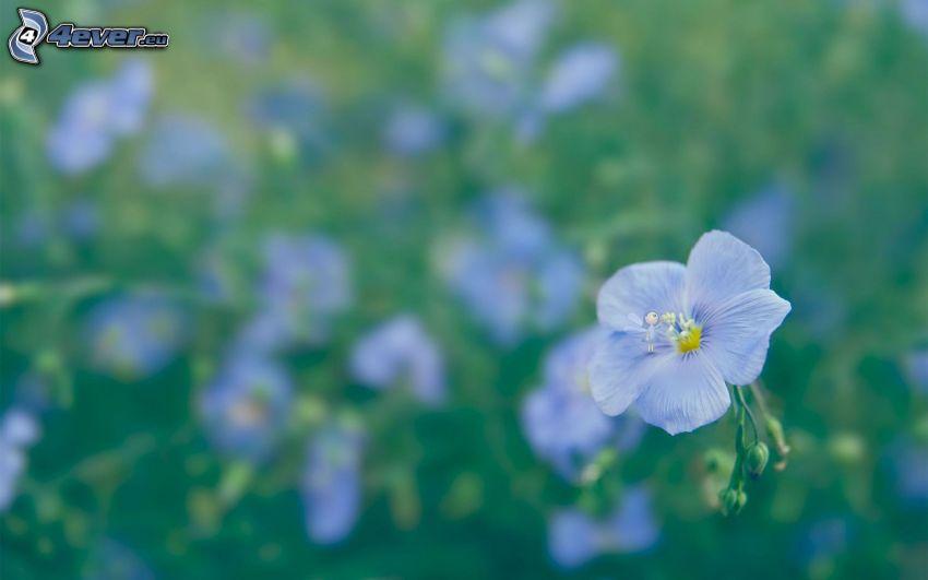 blaue Blume