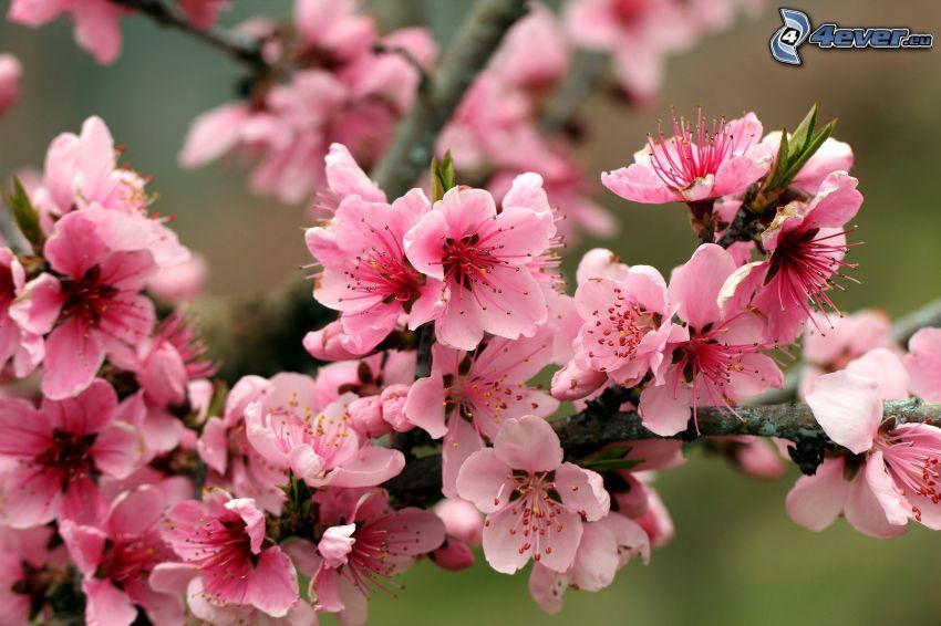 blühenden Apfelbaum