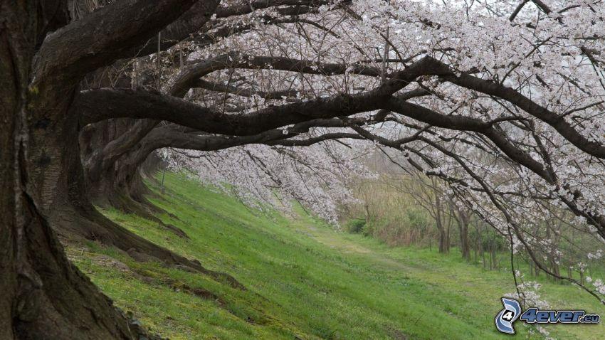 blühenden Bäumen, mächtige Bäume