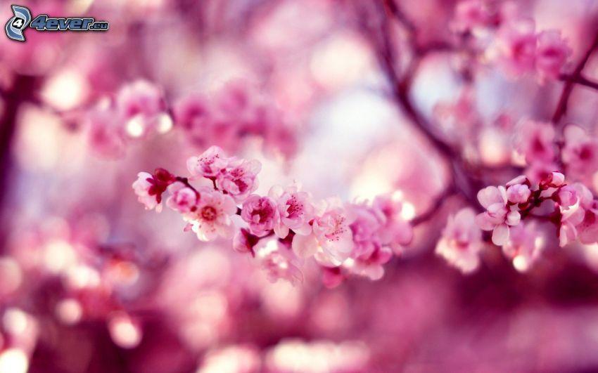 blühender Kirschbaum, aufgeblühter Ast, rosa Blumen