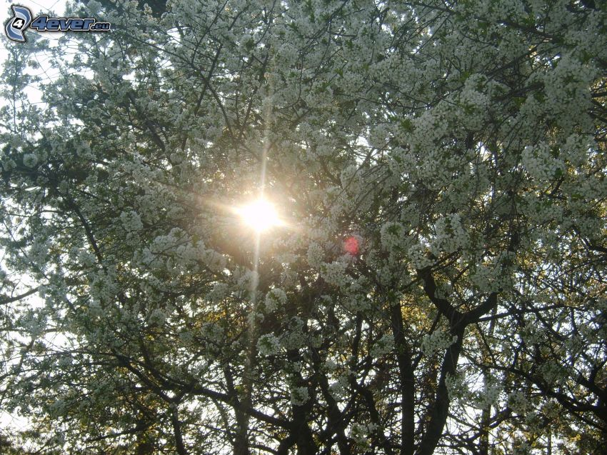 blühender Kirschbaum, Blumen, Sonne