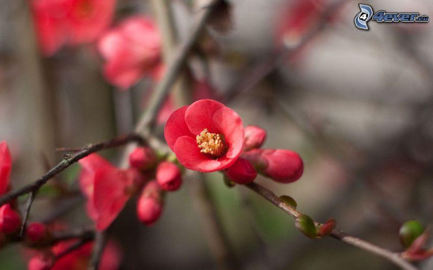 blühender Zweig, rote Blume