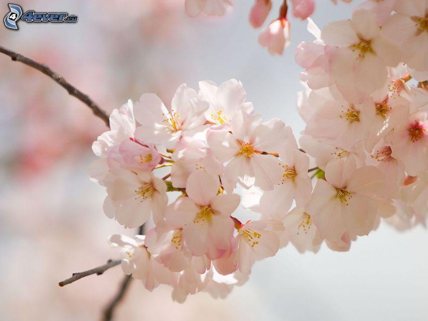 blühender Zweig, weiße Blumen