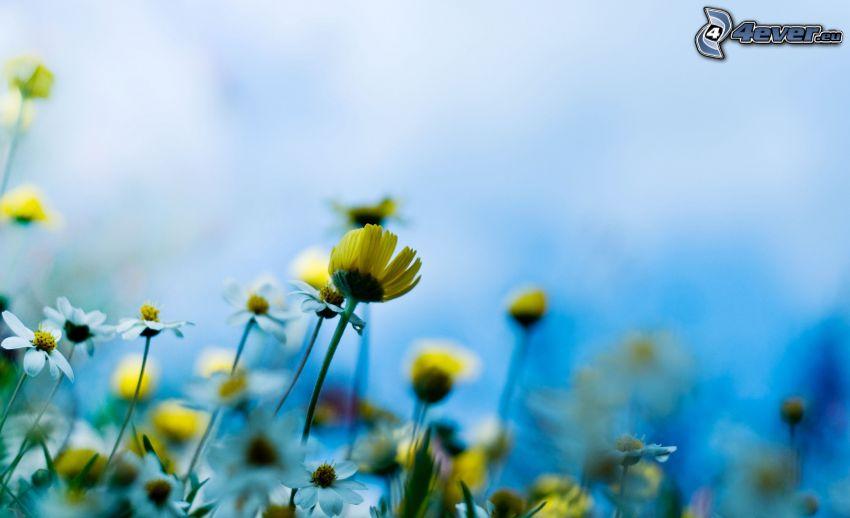 Blumen, gelbe Blumen, weiße Blumen