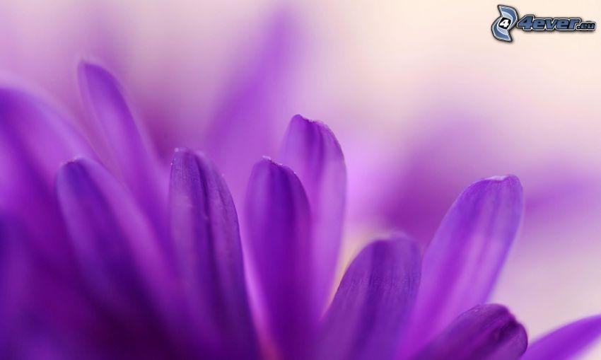 Blütenblätter, lila Blume