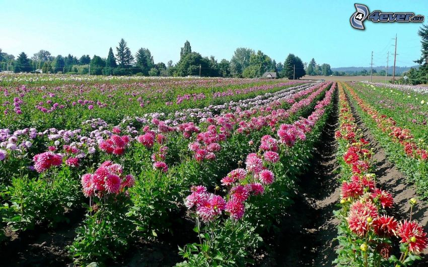 bunte Blumen, Feld