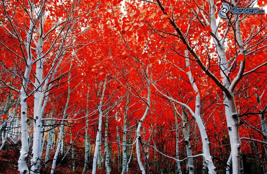 bunte herbstiche Bäume, Birkenwald