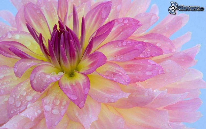 Dahlie, lila Blume