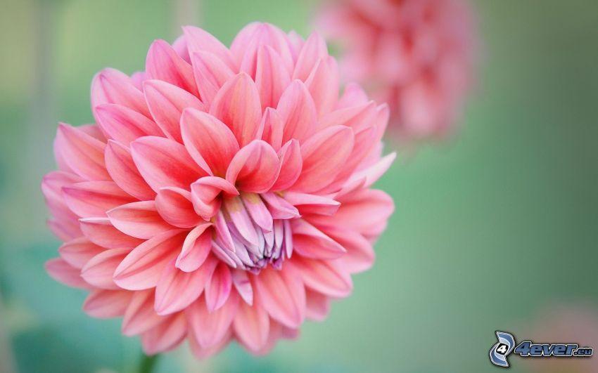 Dahlie, rosa Blume