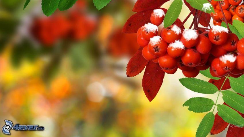 Eberesche, Blätter