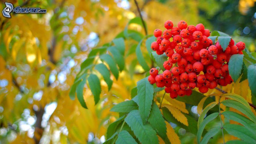 Eberesche, grüne Blätter