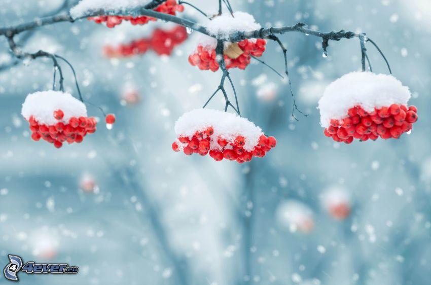 Eberesche, schneebedeckten Zweig