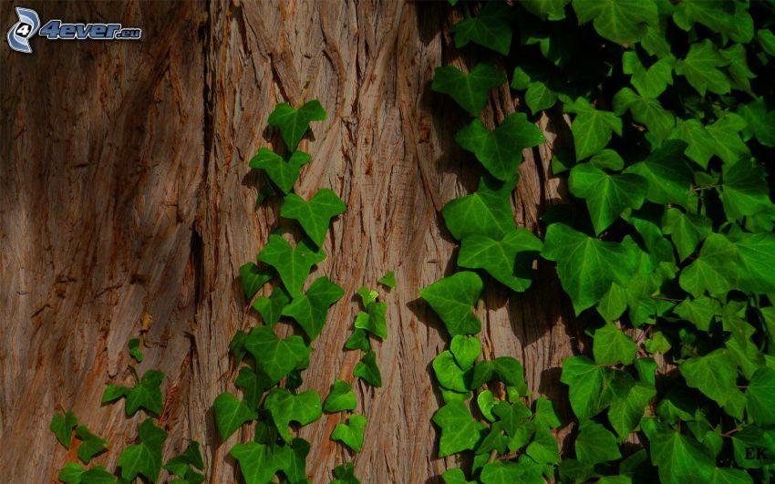 Efeu, grüne Blätter, Stamm