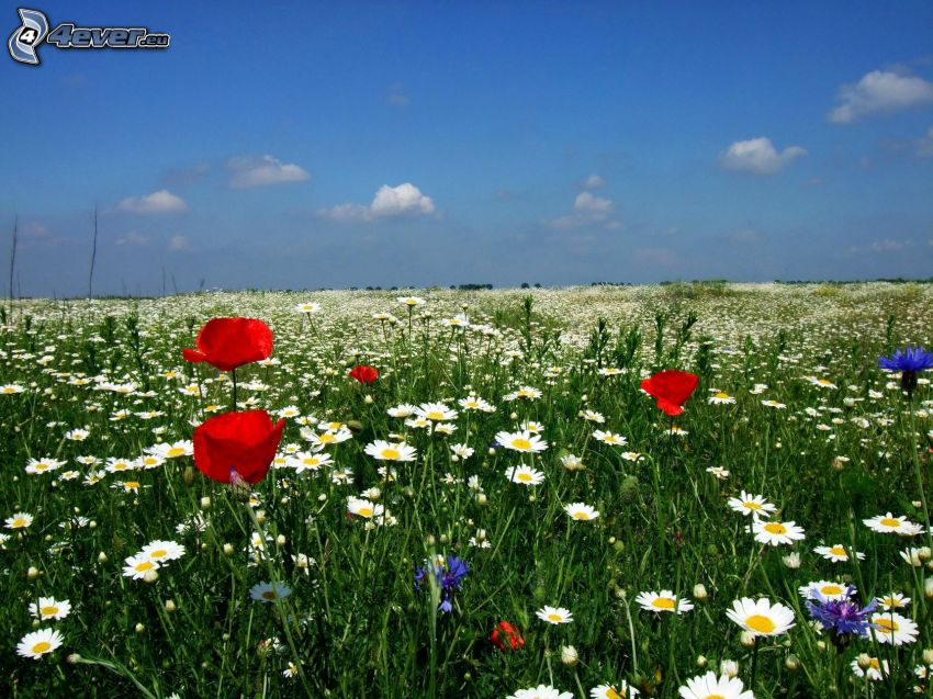 Feldblumen, Gänseblümchen, Kornblume, Klatschrose