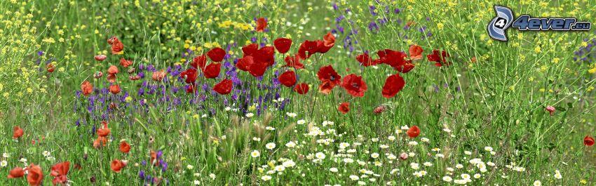 Feldblumen, Klatschrose, Gänseblümchen