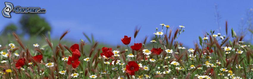 Feldblumen, Klatschrose