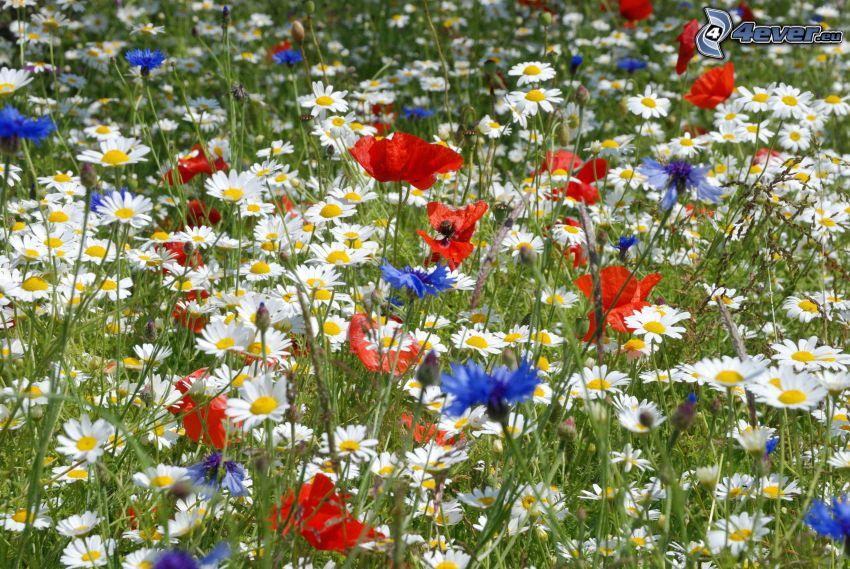Feldblumen, Kornblume, Klatschrose, Gänseblümchen