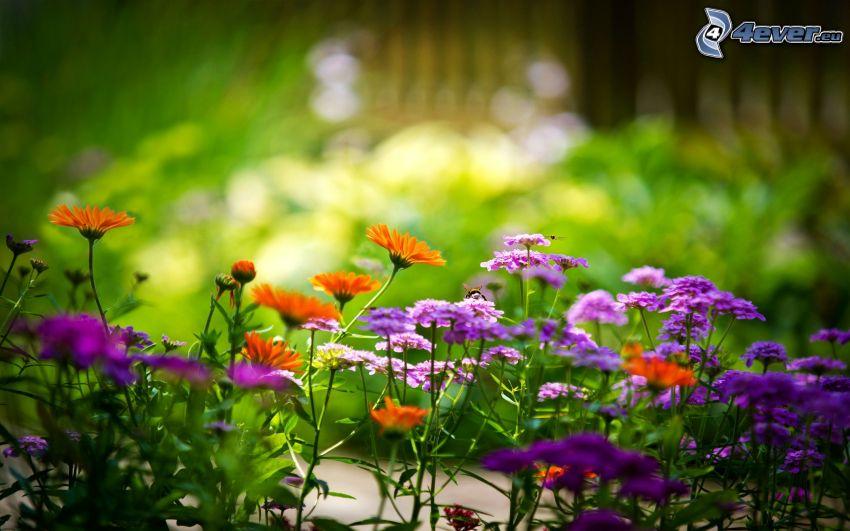 Feldblumen, lila Blumen