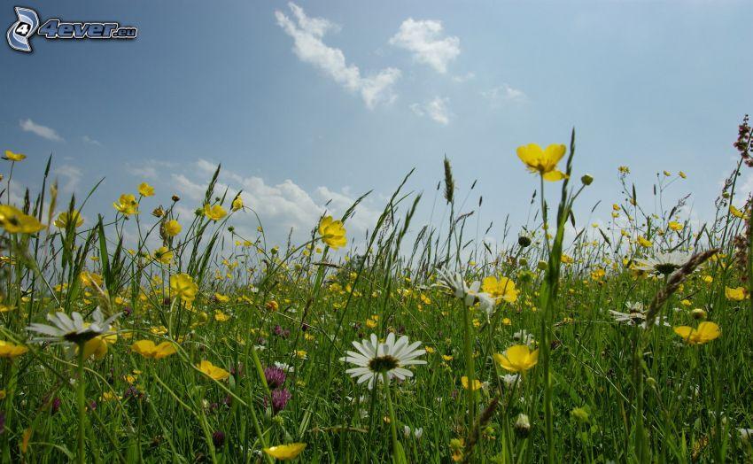 Feldblumen, Wiese