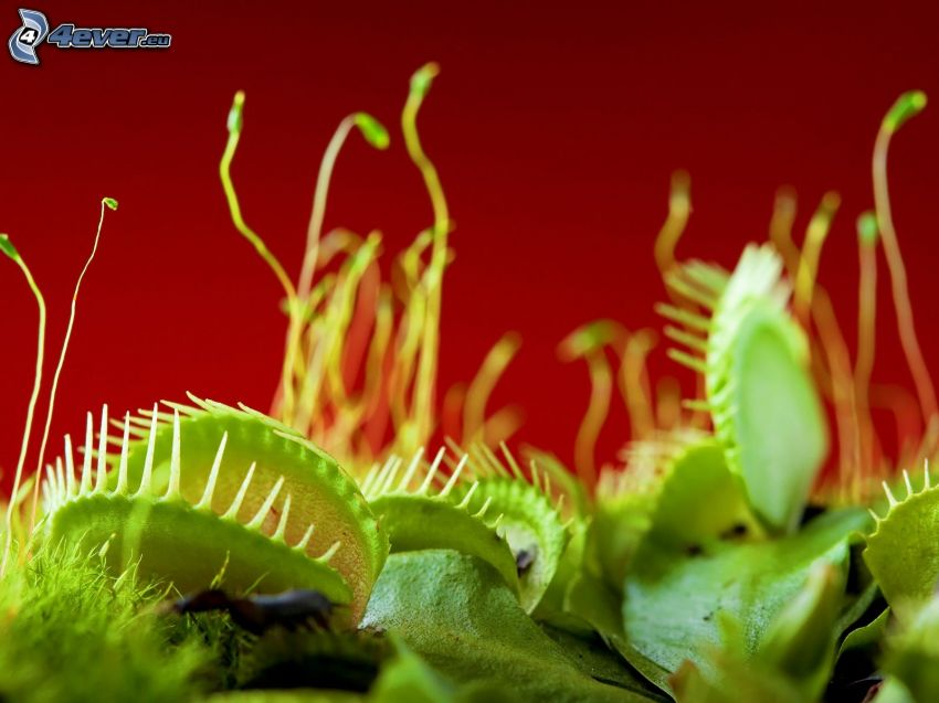 fleischfressende Pflanze, Venusfliegenfalle