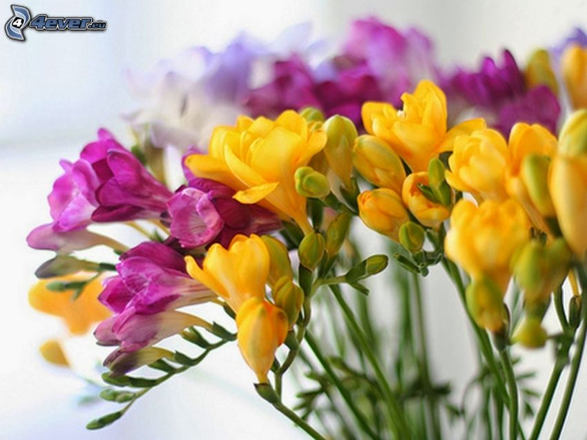 Freesia, gelbe Blumen, lila Blumen