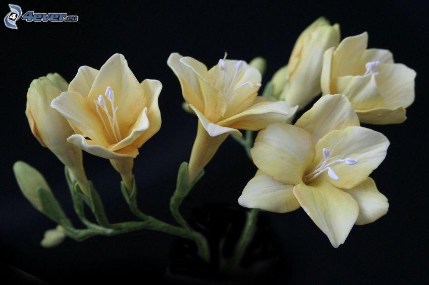 Freesia, gelbe Blumen