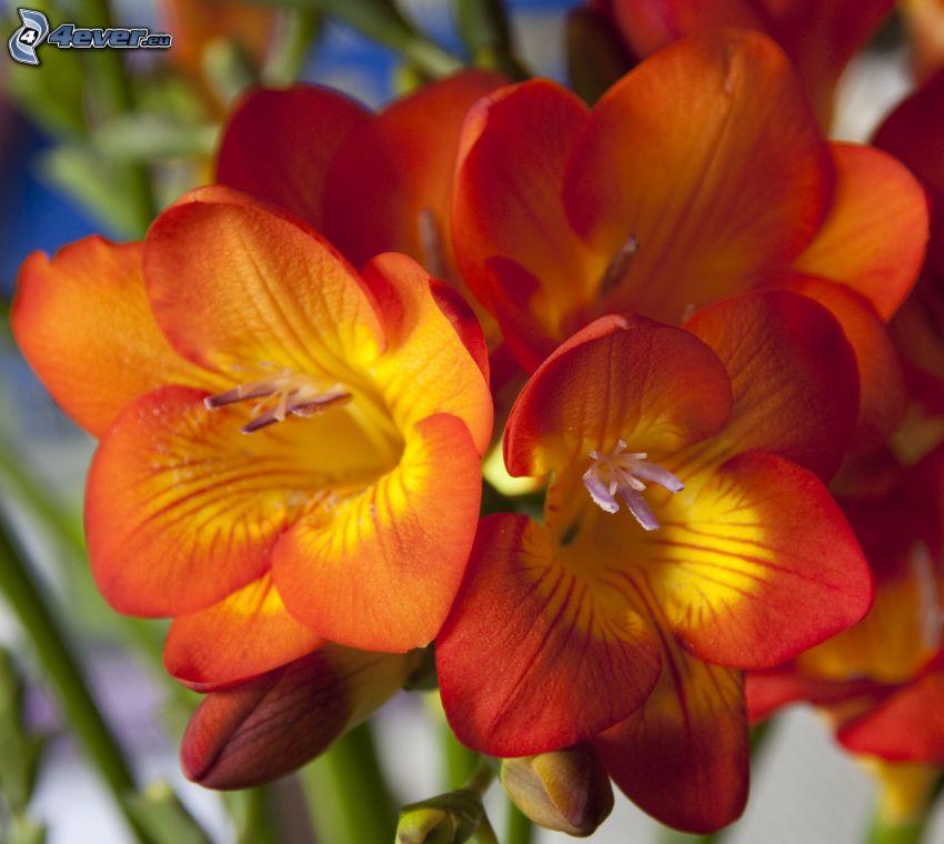 Freesia, orange Blumen